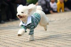 running toy för hundpoodle Royaltyfri Foto