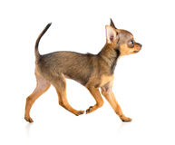 Running toy terrier Royalty Free Stock Images