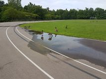 Canadian Geese Drinking on Running Track royalty free stock image