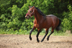 Running trakehner horse in summer evening. Sorrel horse galloping on evening woods Royalty Free Stock Photography