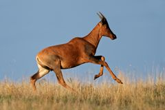 Running Tsessebe antelope Royalty Free Stock Photography