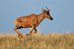 running tsessebe för antilop Arkivfoton