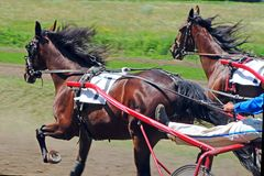 Running two racing horses Stock Photo