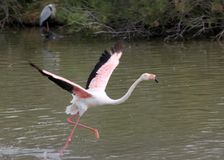 Running up pink flamingo. In camargue natural park, delta of rhone, france, a heron on background Stock Photo