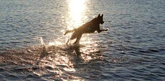 running vatten för hund Arkivbilder