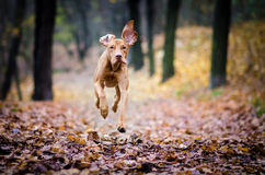 Running Vizdsla. Running hungarian vizsla in autumn lieves path Royalty Free Stock Photo