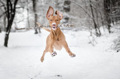 Running Vizsla. Flying hungarian pointer in winter Stock Photo