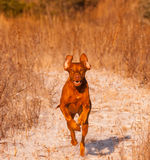 Running Vizsla Stock Photo