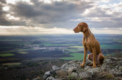Running Vizsla Royalty Free Stock Images