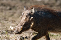 Running warthog Royalty Free Stock Image