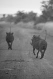 Running Warthogs. A couple of warthogs running off into the soft focus distance Royalty Free Stock Images