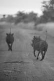 Running Warthogs Royalty Free Stock Images