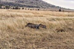 Running Warthogs. A pair of warthogs running away in grassland setting Royalty Free Stock Photos