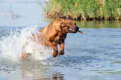 Running in water dog Royalty Free Stock Photos