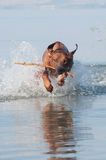 Running in the water dog. A young, beautiful active Rhodesian ridgeback dog running fast across the shallow water in the lake Stock Photo
