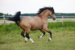 Running Welsh Cob Pony Royalty Free Stock Image