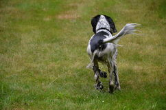 Running wet dog Royalty Free Stock Images