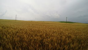 Running in a wheat field. On a cloudy day stock footage