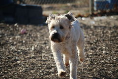 Running wheaten terrier dog Royalty Free Stock Image