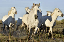 Running White Camargue horses Stock Photos