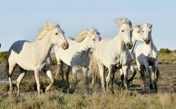 Running White Camargue horses Stock Photography