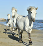 Running White Camargue horses Royalty Free Stock Image