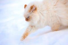 Running white cat Royalty Free Stock Photos