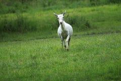 Running white deer Royalty Free Stock Images