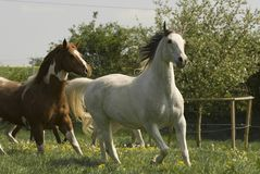 Running white horse. Sometimes horses like this arabian pinto pleasure mix seem to fly over the meadow. With light steps they show their whole elegance Royalty Free Stock Image