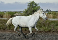 Running White horse Royalty Free Stock Photos