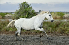 Running White horse Royalty Free Stock Image