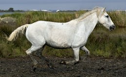 Running White horse Stock Image