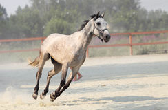 Running white horse on farm royalty free stock photography