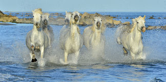 Running White Horses of Camargue. Stock Images