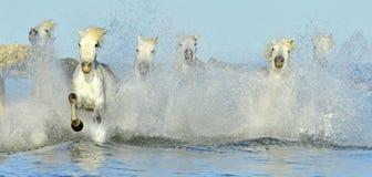 Running White horses through water Stock Photography