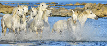 Running White horses through water Royalty Free Stock Photo