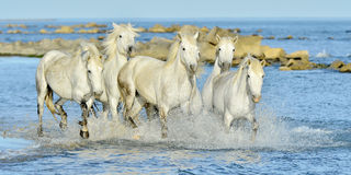Running White horses through water Royalty Free Stock Photos