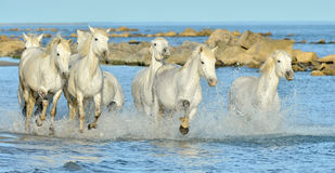 Running White horses through water Stock Images
