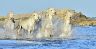 Running White horses through water Stock Image