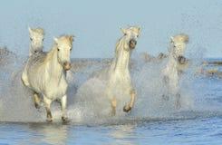 Running White horses through water Stock Photos