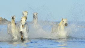 Running White horses through water Royalty Free Stock Images