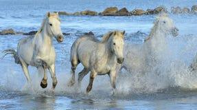 Running White horses through water Stock Images