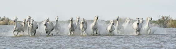Running White horses through water Stock Photos