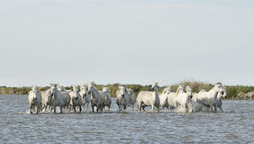 Running White horses through water Royalty Free Stock Image