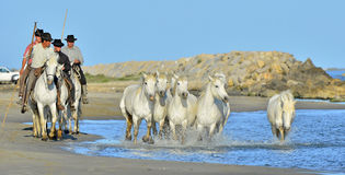 Running White horses through water Royalty Free Stock Photography