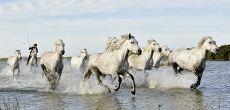 Running White horses through water Royalty Free Stock Photos