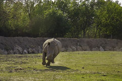 Running white rhinoceros (Ceratotherium simum). A white rhino is running towards me in Réserve Africaine de Sigean royalty free stock photography