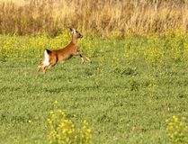 Running White-Tailed Deer Royalty Free Stock Images