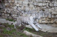 Running white tiger Stock Photos