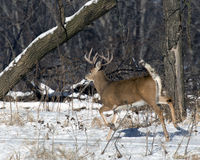Running Whitetail Buck Stock Photo